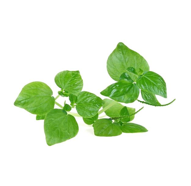 白い背景にハーブ分離されたペルコイドの葉のペッパータイ。