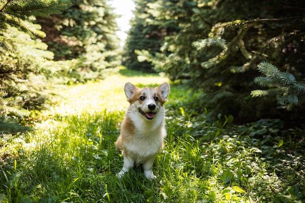 Pembroke corgi 개는 숲의 흔적에 서 있습니다.
