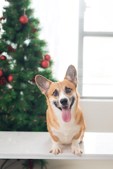 Pembroke corgi in a house decorated with a christmas tree. happy holiday and christmas eve