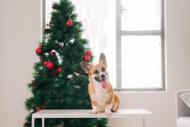 Пемброк-корги в доме, украшенном елкой. с праздником и сочельником