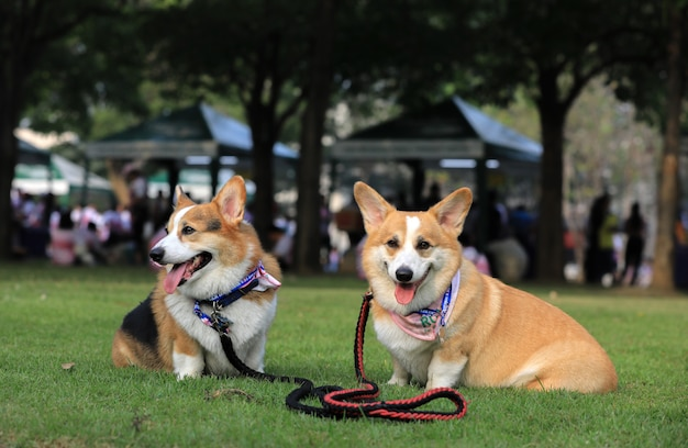 Pembroke welsh corgi dog portrait with tongue out lying on the green grass in the park after the running contest.