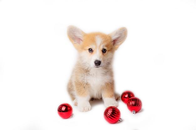 クリスマスのおもちゃに座っているペンブロークウェルシュコーギーの子犬