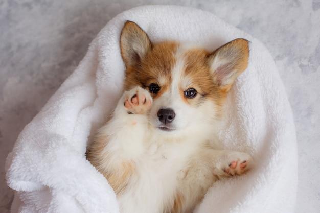 Pembroke welsh corgi puppy sleeps in a blanket