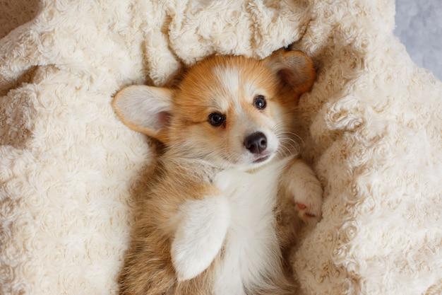 ペンブロークウェルシュコーギーの子犬が毛布で眠る