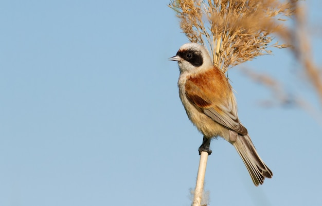 Penduline tit sits on a reed against the sky