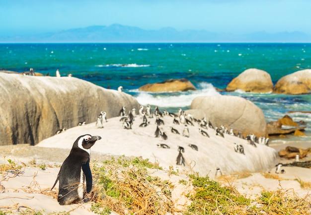 海の近くの南アフリカのペンギン