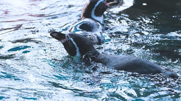 푸른 물색으로 헤엄치는 펭귄과 액체 해양 튀김을 즐기고 노는 펭귄은 매우 빠른 속도로 수중으로 잠수했다가 다시 수면 위로 올라옵니다.