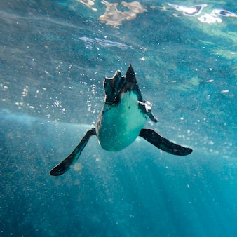 Penguin swimming underwater, puerto egas, santiago island, galapagos islands, ecuador