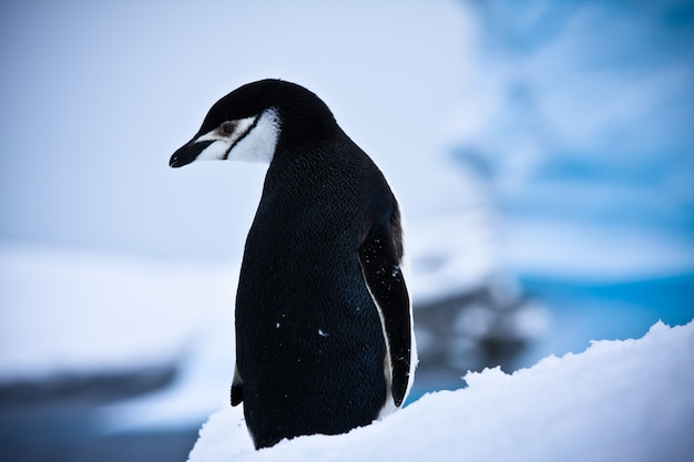 Пингвины в зимнем пейзаже