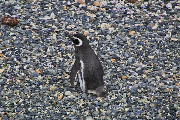 Penguins on the island in beagle channel close ushuaia city, tierra del fuego, argentina