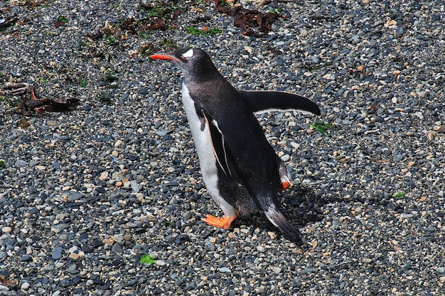 Пингвины на острове в проливе бигль недалеко от города ушуайя на огненной земле, аргентина