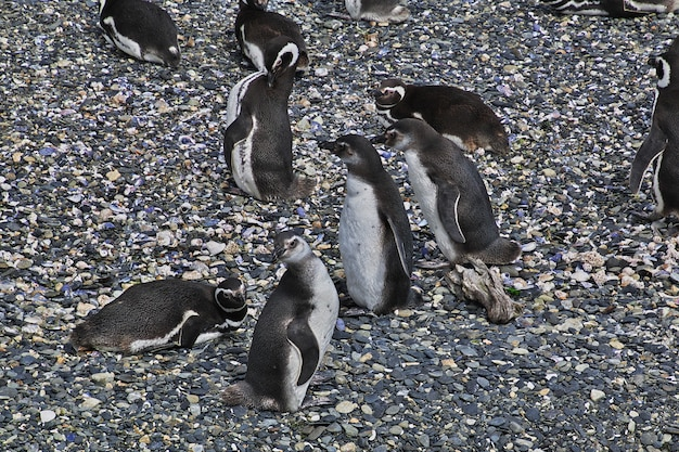 Пингвины на острове в канале бигл закрыть город ушуайя, огненная земля, аргентина
