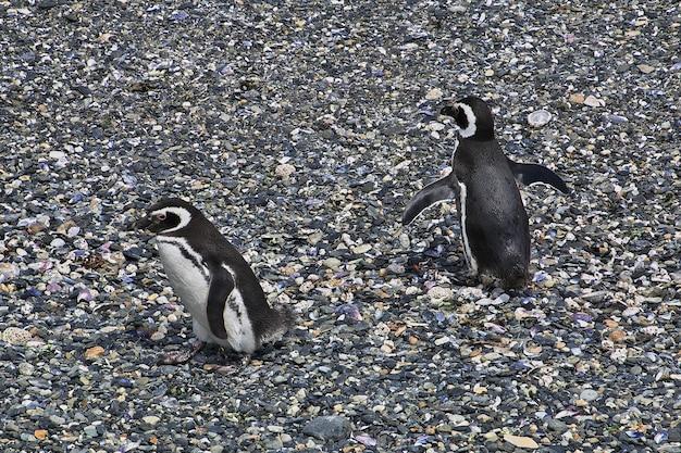 Пингвины на острове в проливе бигль недалеко от города ушуайя, огненная земля, аргентина