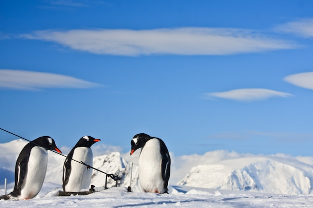 Penguins in a snowy landscape