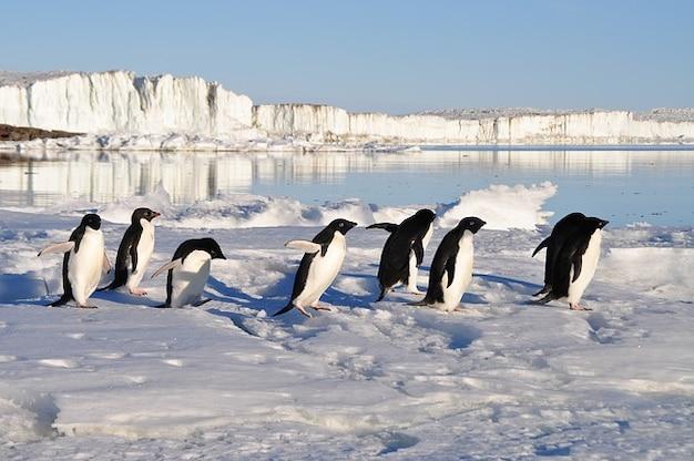 ペンギン水鳥北極