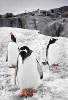 Penguins in a winter landscape