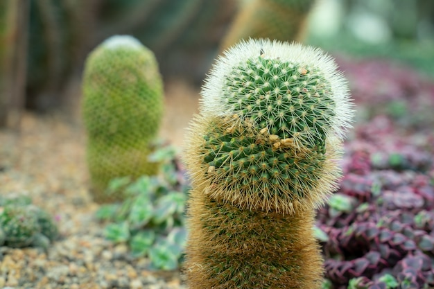 Penis shape cactus in a cactus garden