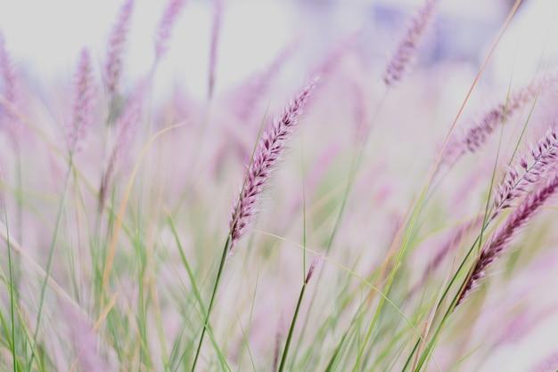 ピンクの色調の繊細な草pennisetum advena rubrumの羽毛