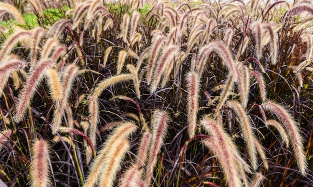 Pennisetum setaceum (foxtail fountain grass) field