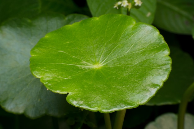 グリーンアジアpennywortの緑の葉のクローズアップ