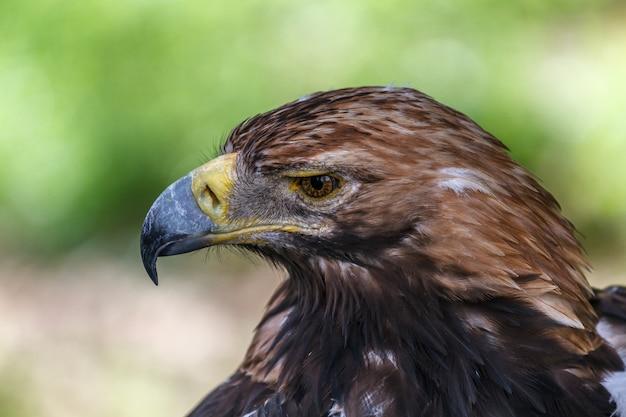 Pensive look of an eagle. large portrait
