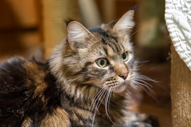 Задумчивый кот мейн-кун в комнате