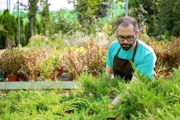 Pensive middle-aged gardener holding small thuja in pot. bearded garden worker in glasses wearing blue shirt and apron growing evergreen plants in greenhouse. commercial gardening and summer concept