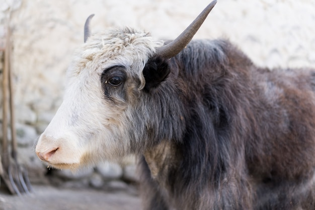 Pensive yak with white-brown horns