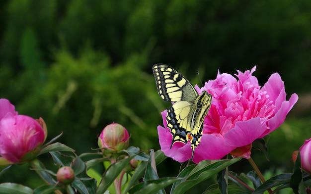 庭に咲く牡丹。ピンクの牡丹の花に明るいカラフルなアゲハチョウ。花を蝶します。