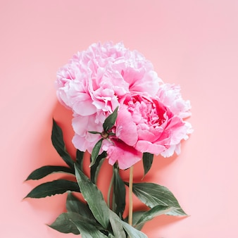Peonies bouquet flowers in full bloom vibrant pink color isolated on pale pink background. flat lay, top view, space for text. square