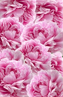 Peonies flowers background. flower pattern. flower wall.