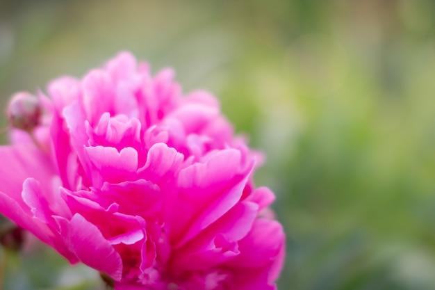 緑の花壇のぼやけた壁の牡丹。曇りの日の夏には、白翔にある中国牡丹園の牡丹は美しい花でいっぱいでした。