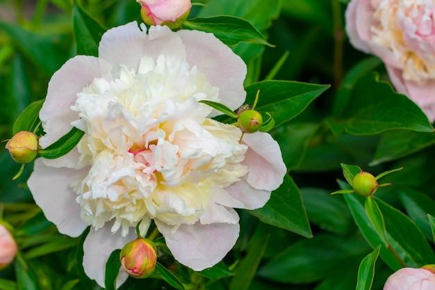 Пионы в саду. цветущий пион. крупный план красивого цветка пиона.