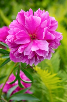 Peony flower blooming in the garden