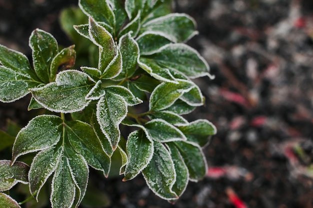Peony leaves covered with hoarfrost