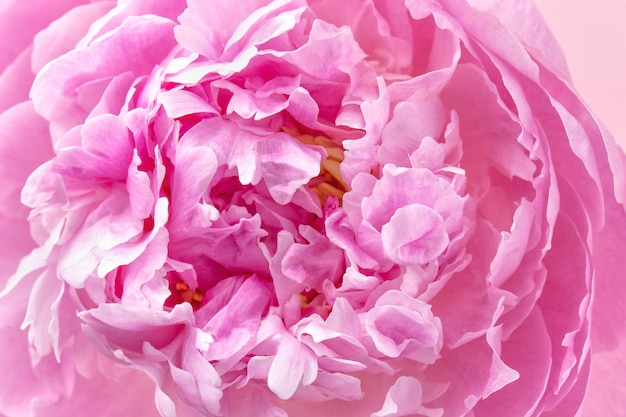 Peony petals close up