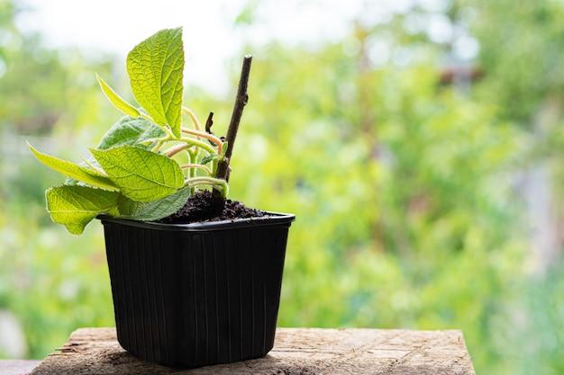 Piantina della pianta della peonia in un vaso di plastica con suolo naturale.