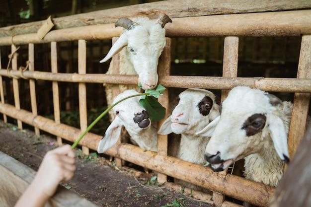 Люди кормят коз в загоне