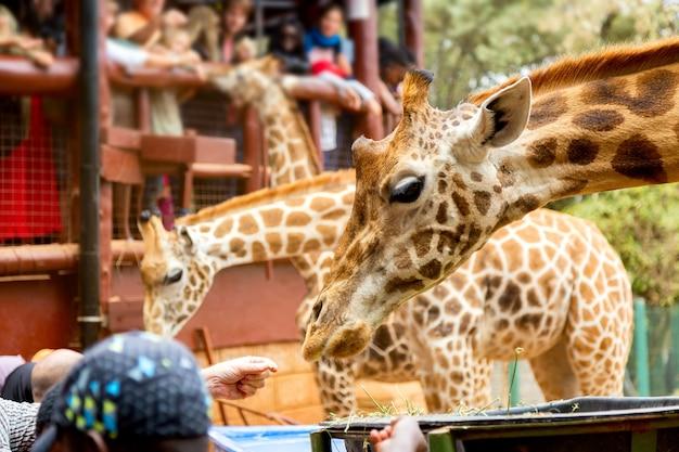 Люди кормят жирафов в кении