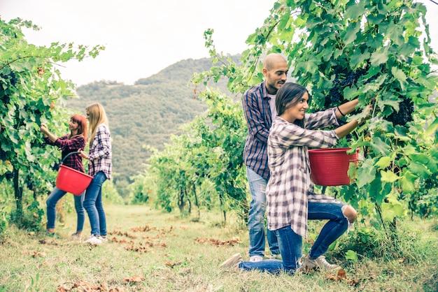 ブドウ畑で収穫する人々