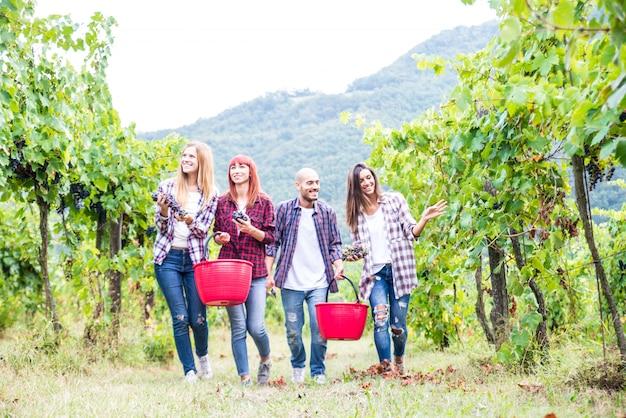 People harvesting in a vineyard