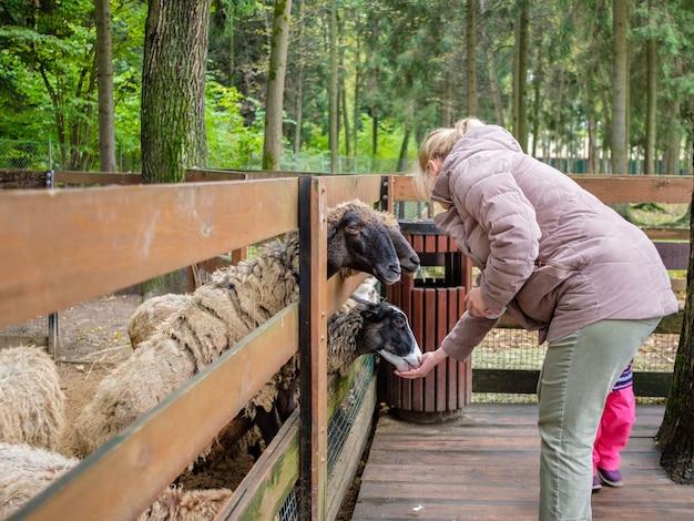 동물원의 사람들이 양에게 당근을 먹입니다.