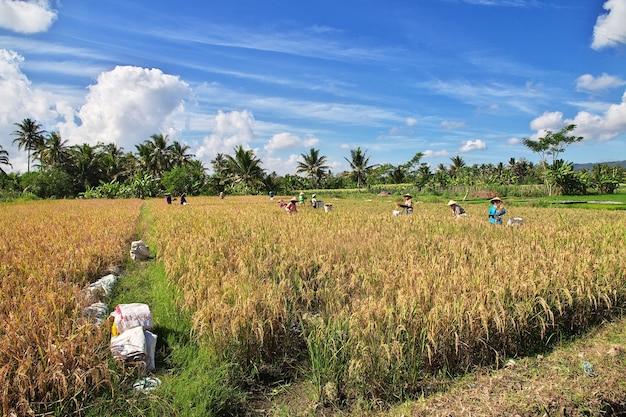 インドネシアの村の田んぼの人々