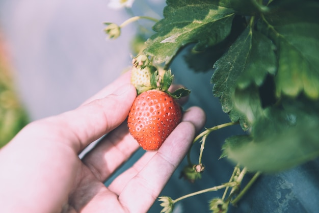 庭でイチゴを選ぶ人。フィールドでイチゴを収穫
