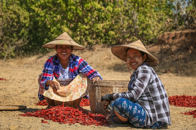 People picking up dry chilly on a field in bagan, myanmar