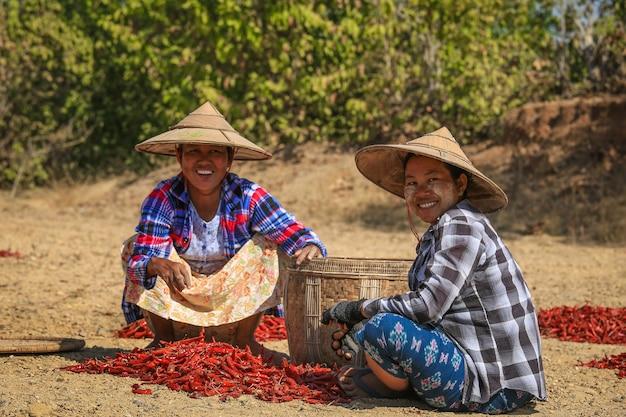 ミャンマー、バガンの畑で肌寒いドライを拾う人々