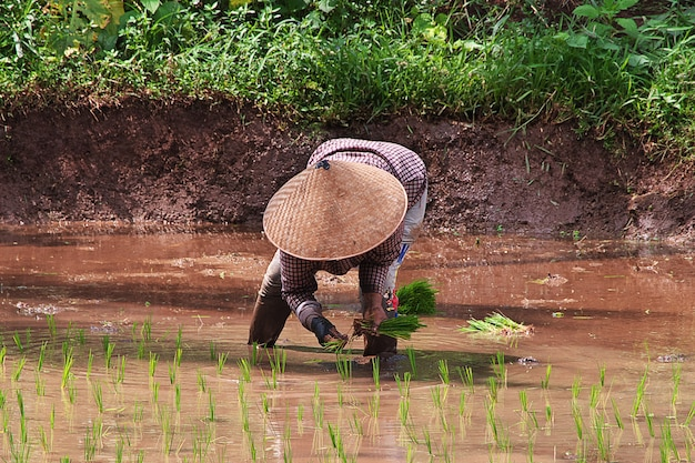 People on the rice field