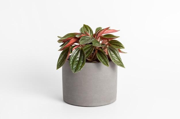 白い背景の鉢植えの植物に分離された美しい葉のテクスチャを持つpeperomiacaperatarosso植物