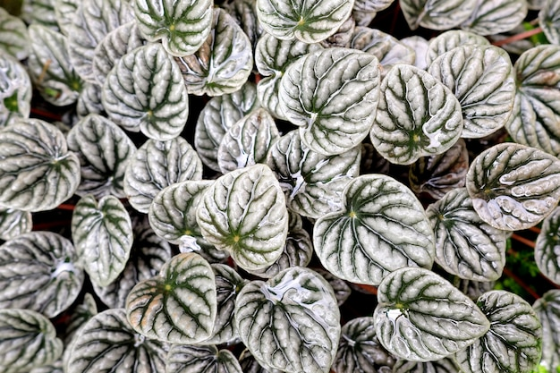 Peperomia sandersii, white leaves pattern background.
