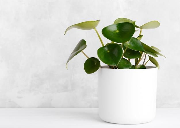 Комнатное растение капли дождя peperomia